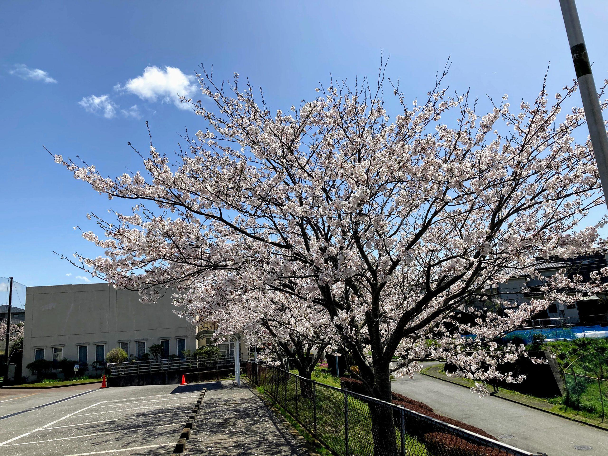 木更津市波岡公民館の桜